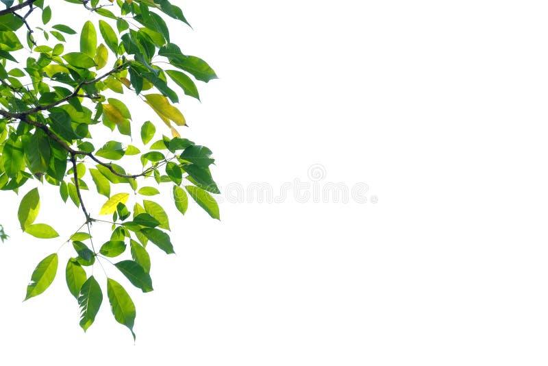 Feuilles tropicales d'arbre avec des branches sur le fond d'isolement blanc photo stock