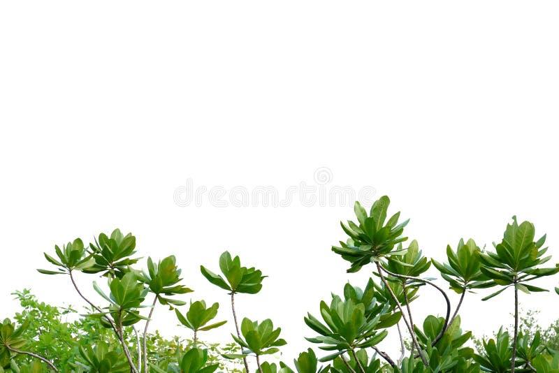 Feuilles tropicales d'arbre avec des branches sur le fond d'isolement blanc pour le contexte vert de feuillage image stock