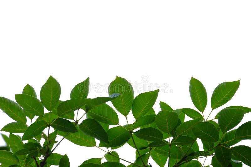 Feuilles tropicales d'arbre avec des branches sur le fond d'isolement blanc pour le contexte vert de feuillage photos stock