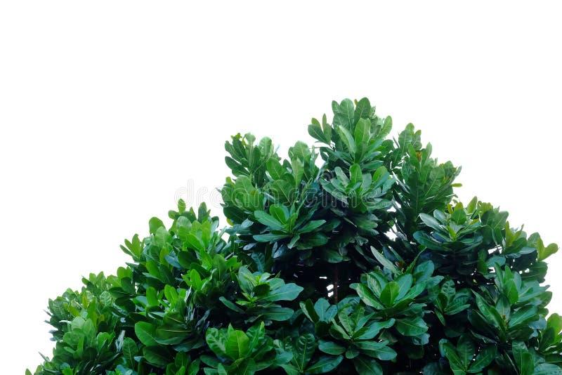 Feuilles tropicales d'arbre avec des branches sur le fond d'isolement blanc pour le contexte vert de feuillage images libres de droits