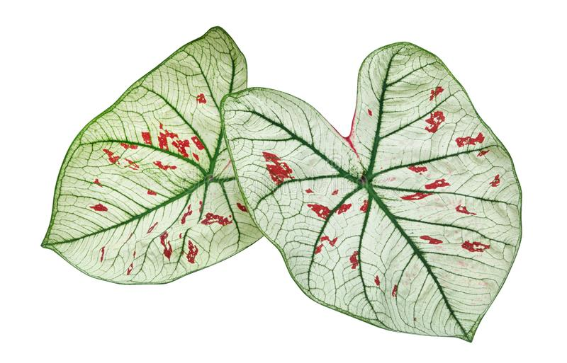 Feuilles tropicales d'usine de feuillage de vert d'étoile de fraise de Caladium d'isolement sur le fond blanc, chemin de coupure image libre de droits