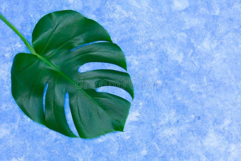 Feuilles tropicales de Monstera sur un fond de bleu de ciel Disposition créative de vraies feuilles tropicales sur un fond vert C images libres de droits