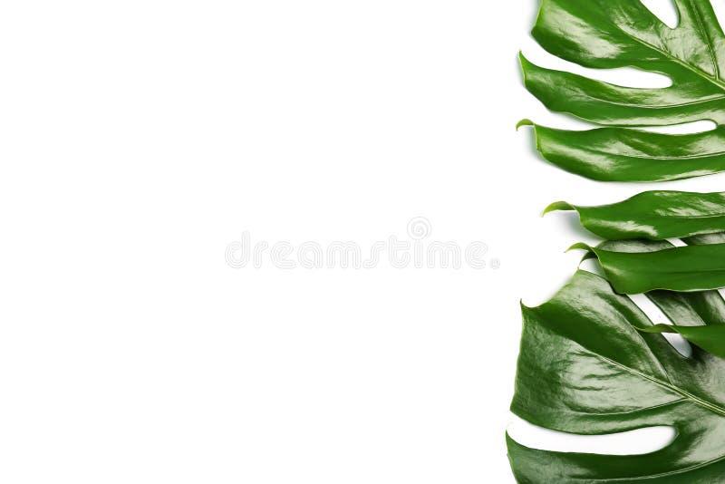 Feuilles tropicales fraîches de monstera sur le backgroun blanc image libre de droits