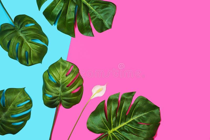 Feuilles tropicales Monstera, usine de fromage suisse, et beau spathiphyllum de fleur blanche sur le fond bleu rose photos stock