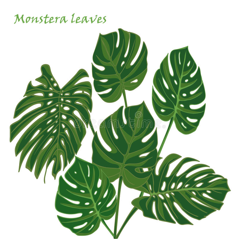 feuilles tropicales r gl es de monstera dessin r aliste dans le style plat de couleur d. Black Bedroom Furniture Sets. Home Design Ideas
