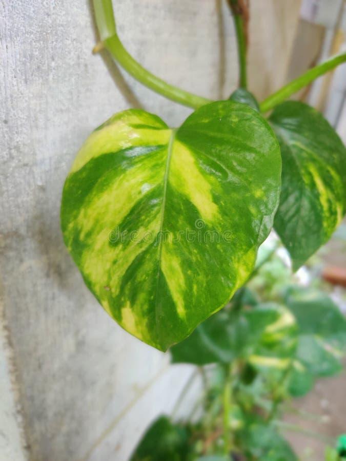 Feuilles verdâtres verdâtres de plantes monétaires photos libres de droits