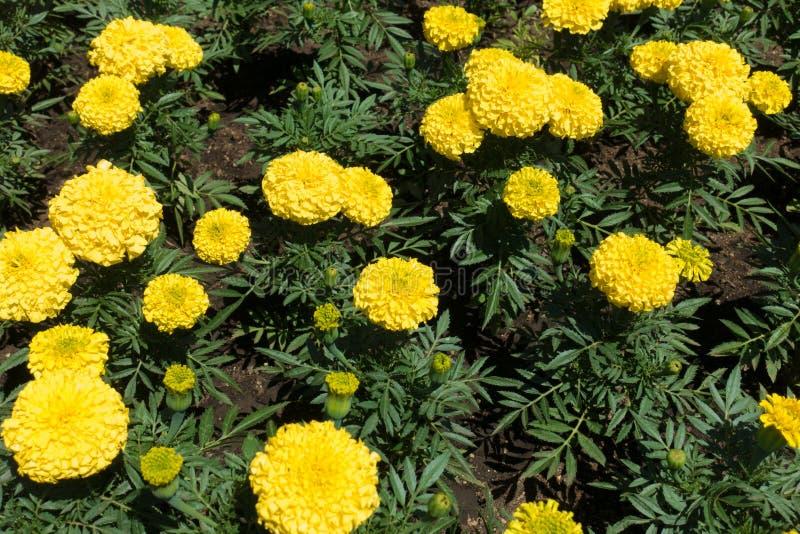 Feuilles vert-foncé et fleurs jaunes d'erecta de Tagetes photos libres de droits