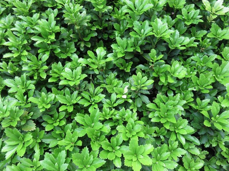 Feuilles vertes au printemps dans le jardin photo libre de droits