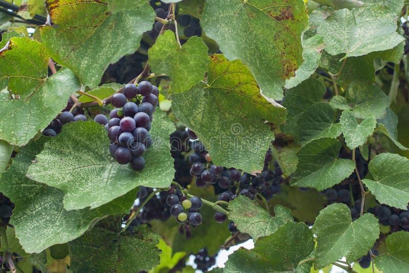 Feuilles vertes d'un vignoble près photo stock