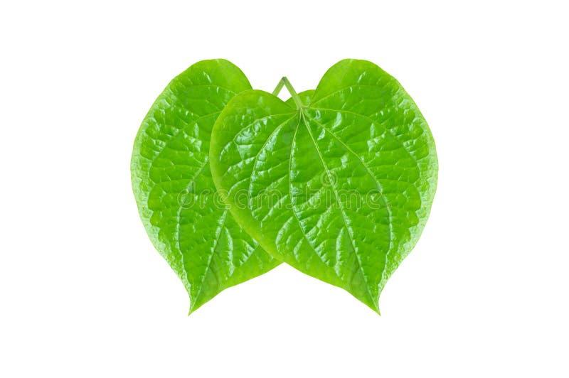 Feuilles vertes de bétel ou de Piper Betle photographie stock libre de droits