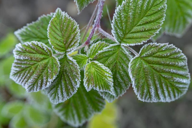 Feuilles vertes de framboise couvertes dans le gel d'hiver images stock