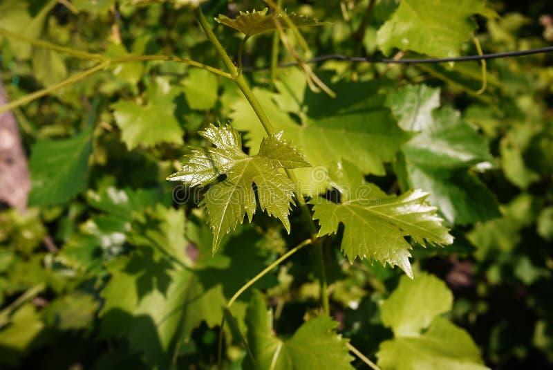 Feuilles vertes de l'arbre de raisin La lumière du soleil illumine les feuilles D?tails et plan rapproch? images stock