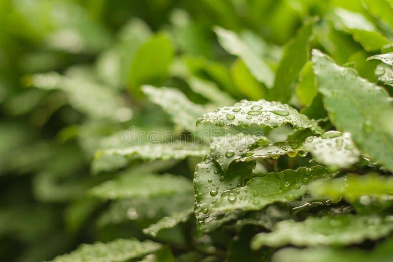 Feuilles vertes de laurier avec des baisses photos stock