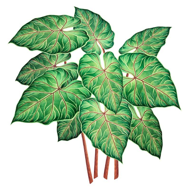 Feuilles vertes de peinture d'aquarelle grandes, en feuille de palmier d'isolement sur le fond blanc Feuille d'oreille d'éléphant illustration libre de droits