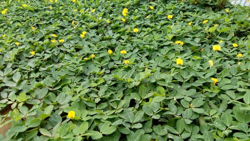 Feuilles vertes, feuilles de plante grimpante nature frais Jardin images libres de droits