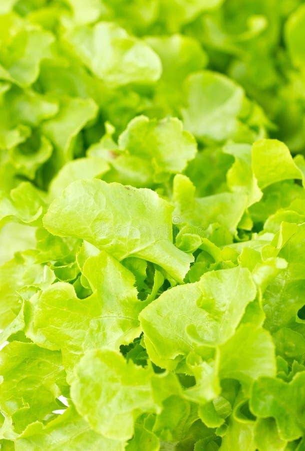 Feuilles vertes de salade de chêne. images stock