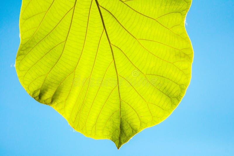 Feuilles vertes de teck contre le ciel bleu photographie stock libre de droits