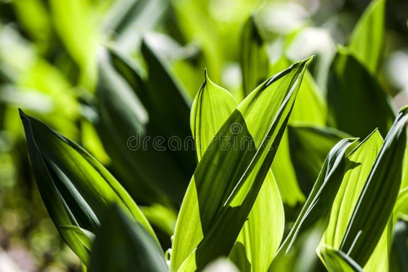 Feuilles vertes des fleurs de mughetto dans le contre-jour du soleil - photographie photos stock