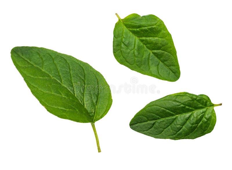Feuilles vertes et fraîches correspondantes d'épice d'origan photos stock