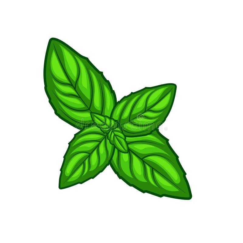 Feuilles vertes fraîches d'herbe de basilic d'isolement sur le fond blanc image stock