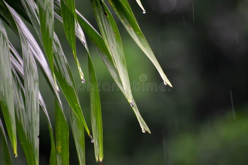 Feuilles vertes fraîches dans la mousson photographie stock