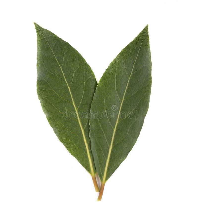 Feuilles vertes fraîches de feuille de laurier d'isolement sur le fond blanc Laurus d'isolement photographie stock libre de droits