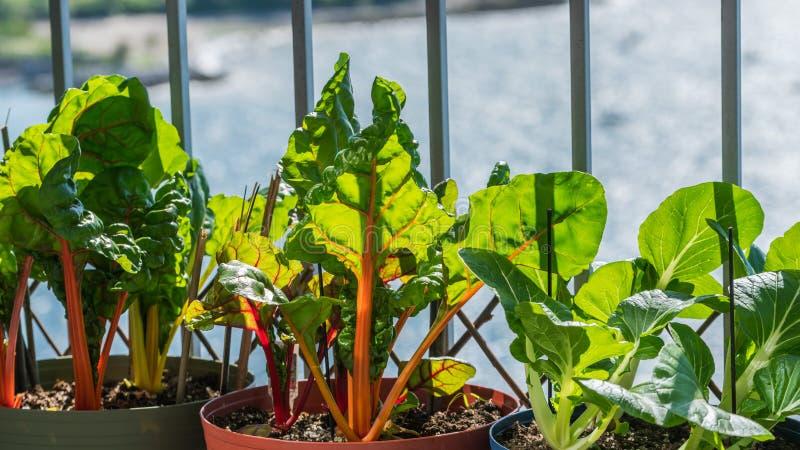 Feuilles vertes fraîches de légume sur le balcon photo libre de droits