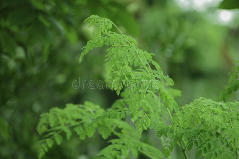 Feuilles vertes fraîches de Moringa dans le jardin photo libre de droits
