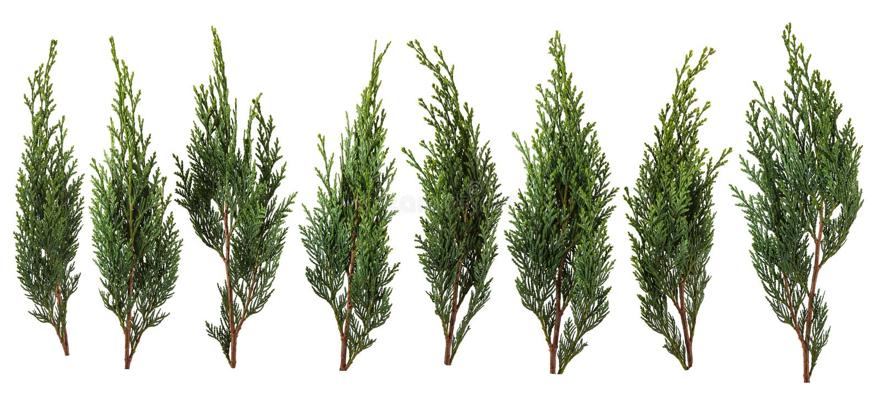 Feuilles vertes fraîches de pin d'isolement sur le fond blanc images libres de droits