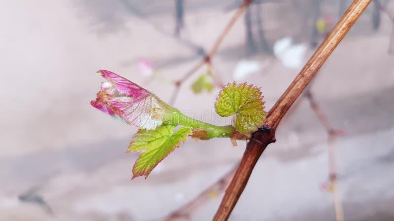 Feuilles vertes fraîches de plan rapproché de vigne Jeunes petites pousses roses de plan rapproché de vigne Branches et feuillage photographie stock
