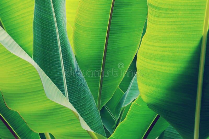 Feuilles vertes fraîches des bananiers en tant que fond naturel de texture photo libre de droits