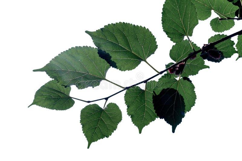Feuilles vertes modèle, feuille d'usine d'automne d'isolement sur le fond blanc, mûrier à la nuance images libres de droits