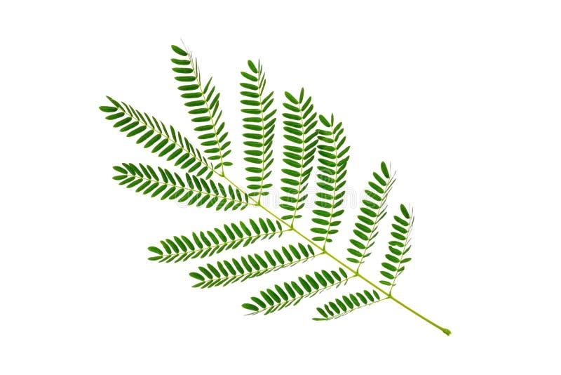 Feuilles vertes modèle, feuille de plante tropicale d'isolement sur le fond blanc images libres de droits