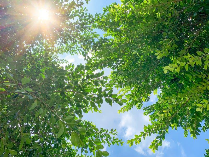 Feuilles vertes sous le soleil, vue en angle bas image stock
