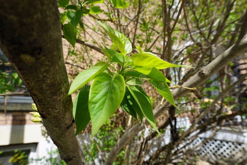 Feuilles vertes sur un arbre à Montréal photographie stock libre de droits