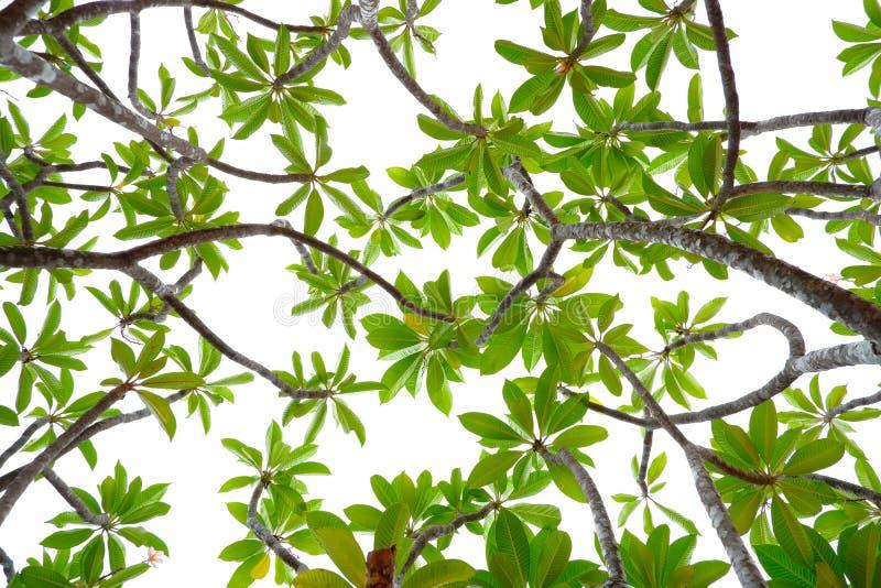 Feuilles vertes tropicales asiatiques qui ont isolé sur un fond blanc photographie stock libre de droits