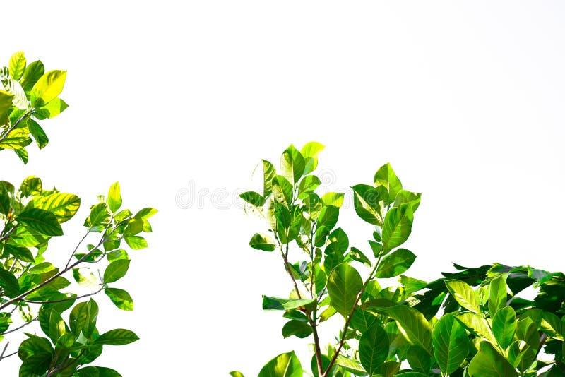 Feuilles vertes tropicales asiatiques qui ont isolé sur un fond blanc photos libres de droits