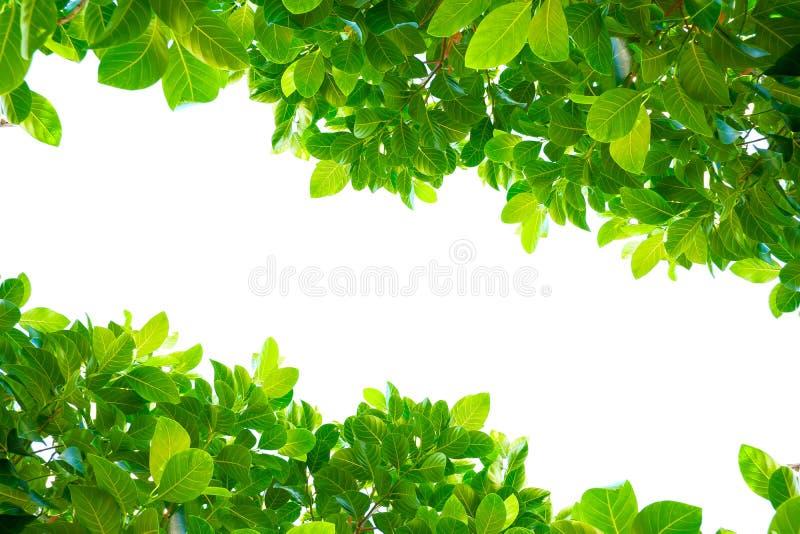 Feuilles vertes tropicales asiatiques qui ont isolé sur un fond blanc images libres de droits