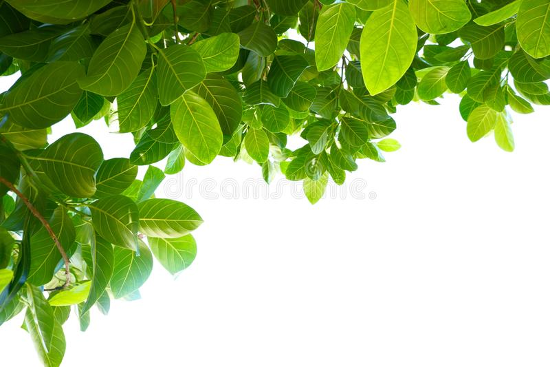 Feuilles vertes tropicales asiatiques qui ont isolé sur un fond blanc image libre de droits