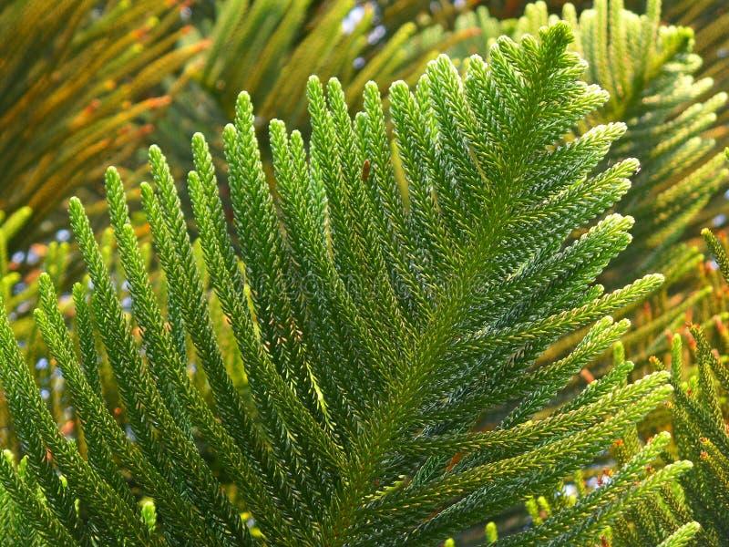 Feuilles vertes vibrantes de cuisinier Pine à la lumière du soleil d'après-midi images stock