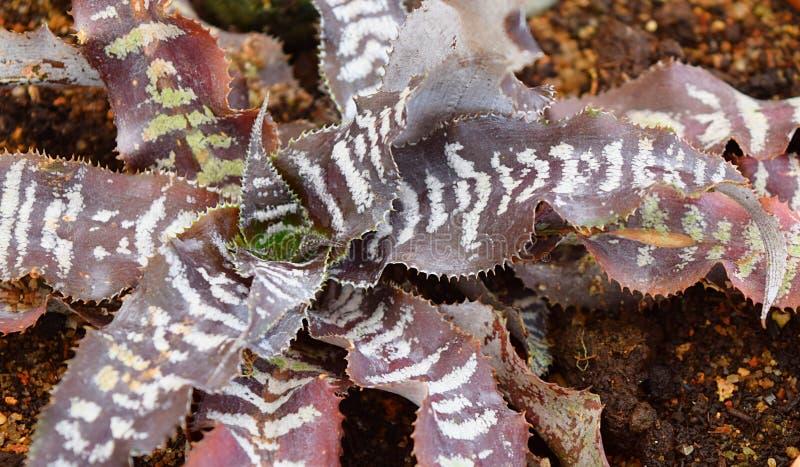 Feuilles violacées foncées de Brown avec les rayures blanches - Haworthiopsis Fasciata - cactus de zèbre photo stock