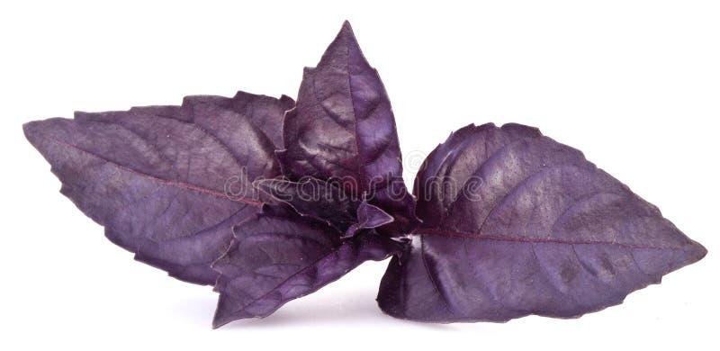Feuilles violettes de basilic d'isolement sur un blanc photographie stock libre de droits