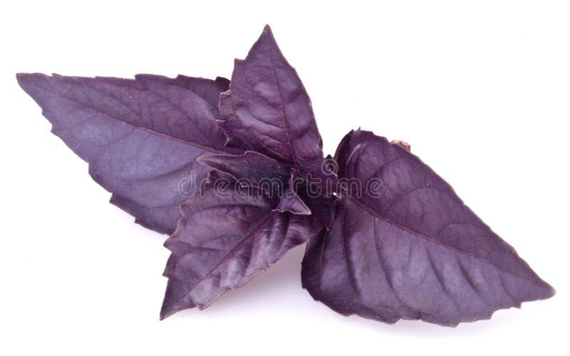 Feuilles violettes de basilic d'isolement sur un blanc photographie stock
