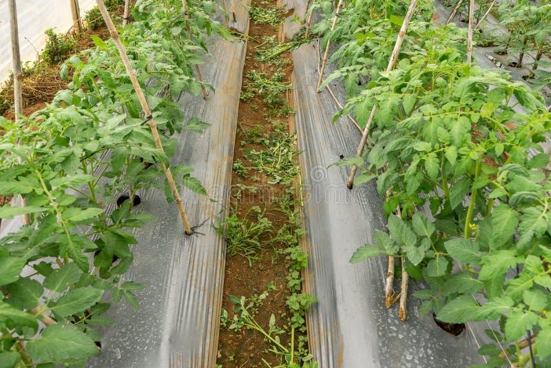 22, fevereiro 2017 de Dalat- plantas de tomate na casa verde, tomates frescos, fileira do tomate imagens de stock