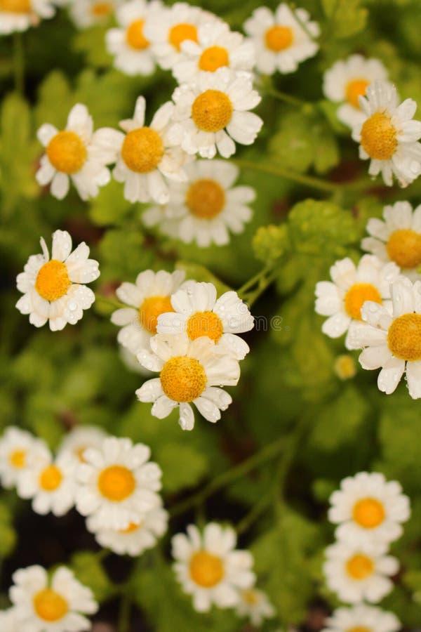 Feverfew blanco y flores amarillas macras desde arriba en formato de retrato de la planta fotos de archivo
