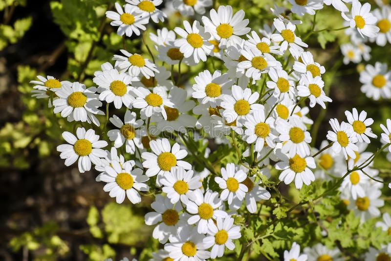 Feverfew de florescência, parthenium do crisântemo, parthenium do Tanacetum, Baviera, Alemanha, Europa fotografia de stock