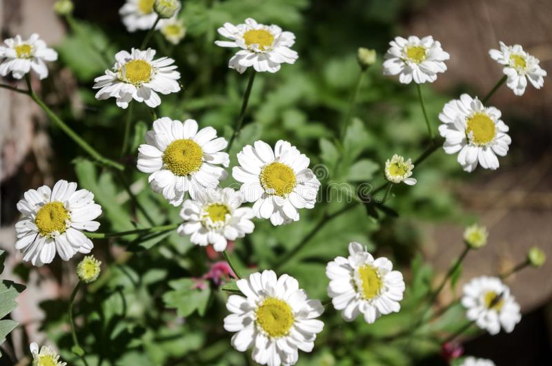 Feverfew Herb royalty free stock images