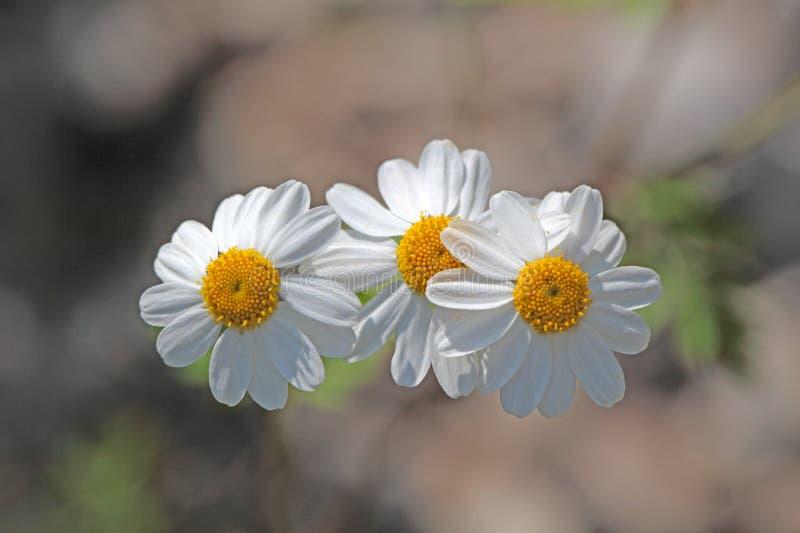 Feverfew Kwitnie (Tanacetum parthenium) zdjęcia stock