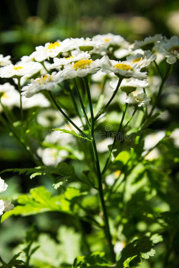 Feverfew Tanacetum parthenium in flower. Mass of white and yellows flowers of traditional medicinal herb in the daisy family As royalty free stock photos
