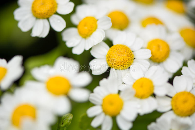 Feverfew (Tanacetum parthenium) flowers stock image
